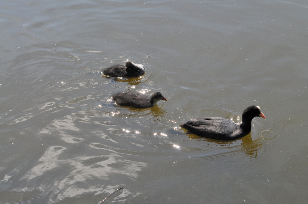 Coot and young